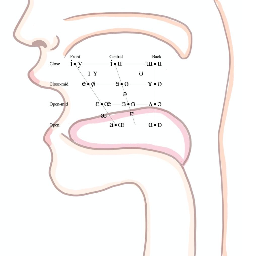 口蓋のイメージ|国際音声記号 (International Phonetic Alphabet) の母音表